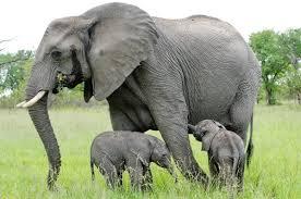 Слонята: фото слонят. Маленький слонёнок имеет внушительные размеры.